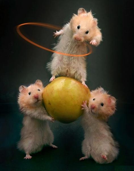 hamsteri-akrobati