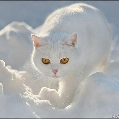snowcat-byala-kotka-v-snega